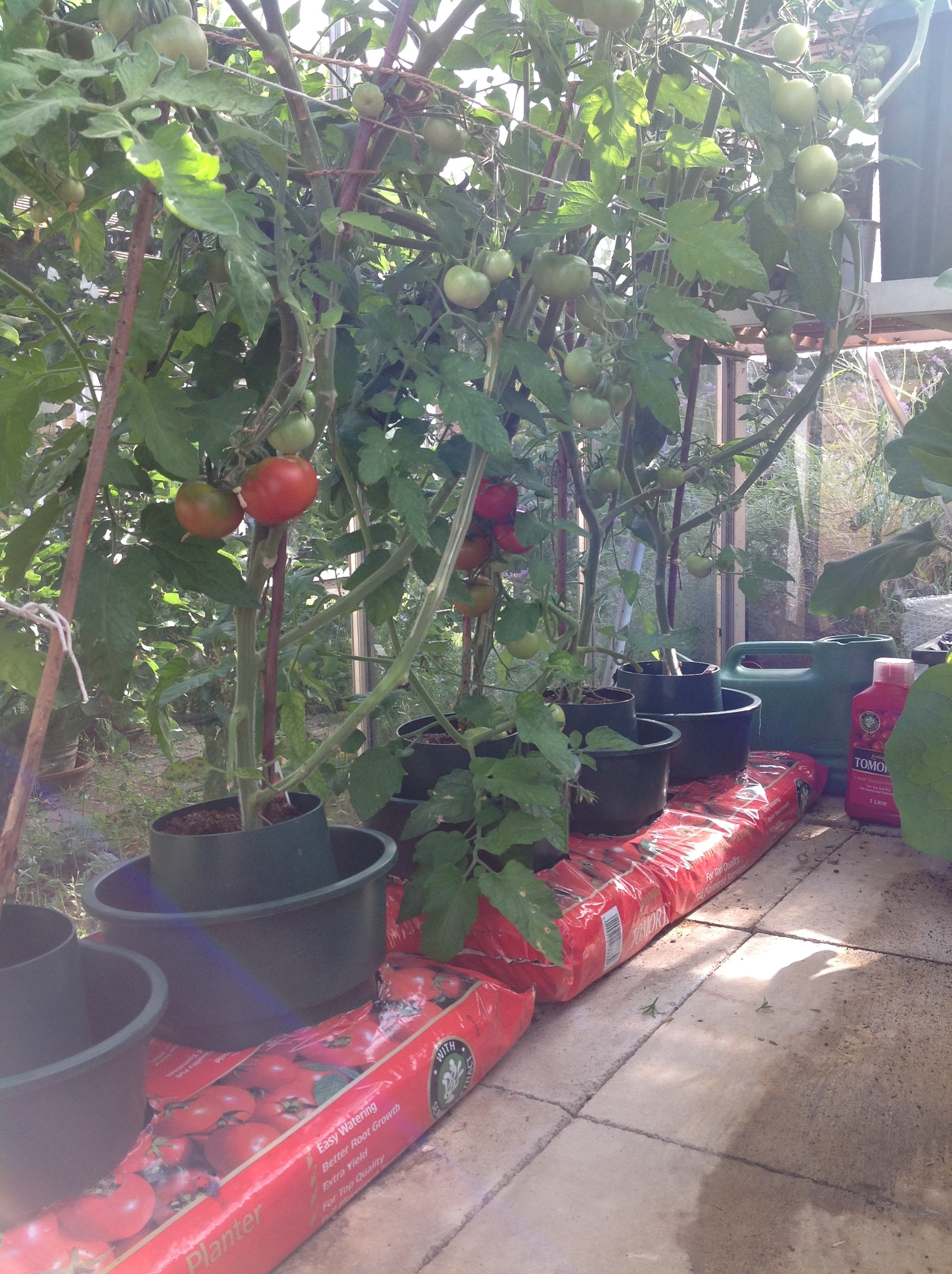 Read our Tomato Growpot Instructions to make you a guru in Home Grown Tomatoes