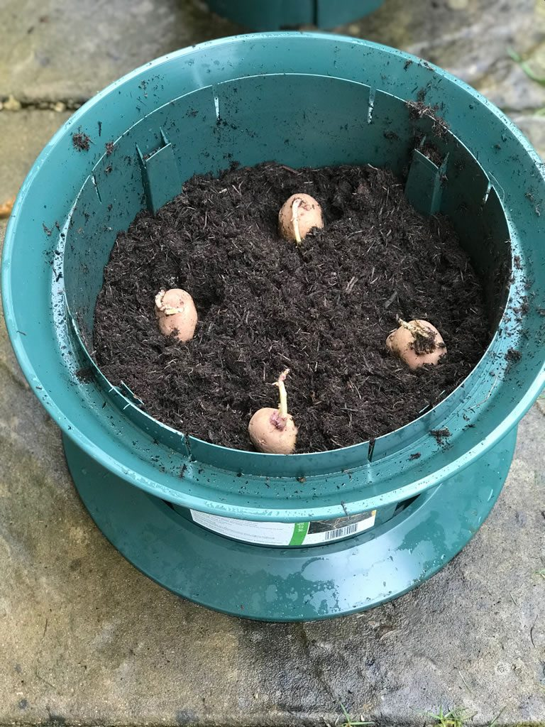 Place seed potatoes into potato growpot